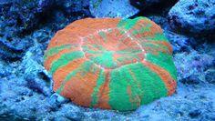 Doughnut Coral - Scolymia australis, Open Meat Coral, Flat Brain - Marine Habitat Magazine