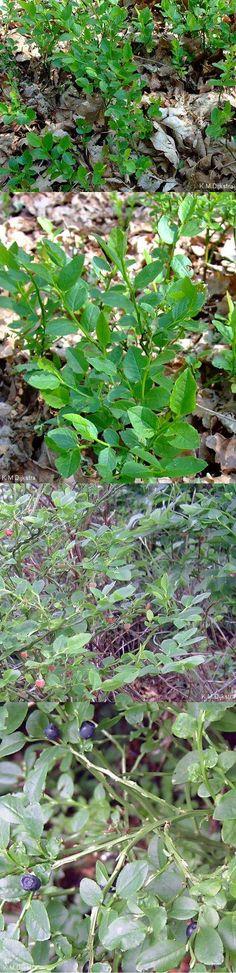 Blauwe bosbes - Vaccinium myrtillus bessen: voor jam en sap, gebak,.. ; als kleurstof ? gedroogde bessen en bladeren: tegen urineweginfecties en nierstenen, diarree