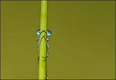 Quesada Domis by Solent News & Photo #Insect #Quesada_Domis