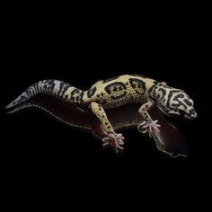 #Leopardgecko 'Onyx' Jungle Bandit