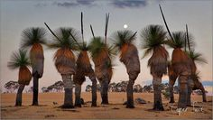 Grass trees of Australia.