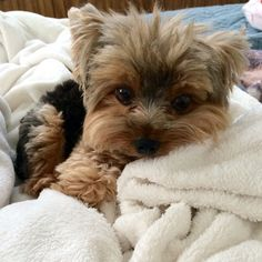 Super Cute Puppies, Cute Little Puppies, Cute Dogs And Puppies, I Love Dogs, Cute Funny Animals, Cute Baby Animals, Yorshire Terrier, Yorkshire Terrier Puppies, Yorkie Puppy