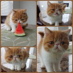 Pancake the Flat-Faced Kitten Nibbling Watermelon