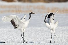 The red-crowned crane is a symbol of Japan.  They are known for their elaborate dances of mating pairs.  These are seen in Hokkaido, Japan.