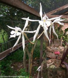 Orquídea: Epidendrum viviparum