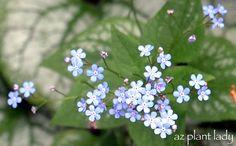 Brunnera macrophylla 'Jack Frost' (Siberian bugloss) - low-maintenance, resistant to pests