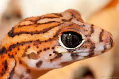 The Yucatán banded gecko (Coleonyx elegans) is found in Mexico, Guatemala, and Belize, common in forested and open habitats throughout Yucatan peninsula. It is ground dwelling and largely nocturnal. Feeds on insects and spiders. Photo: Jason Rothmeyer