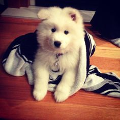 My samoyed puppy Jessie