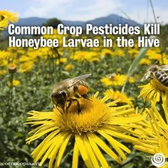 Common Crop Pesticides Kill Honeybee Larvae in the Hive. Read Here: http://www.cornucopia.org/2014/01/common-crop-pesticides-kill-honeybee-larvae-hive
