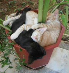 Container Gardening Tips -- Most beginners can't believe how much the average kitten will expand! It's important to plant your kittens at least 12 inches apart to avoid overcrowding, even though they can tolerate closer spacing.
