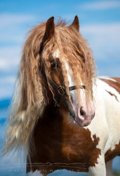 Horses - Gypsy Vanner Stallion at the Beach