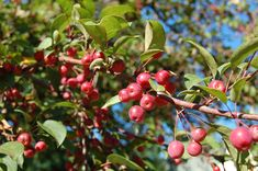 What is A Crabapple? Crabapples simply mean apples that are underdeveloped or just look small in size. You can also call them miniature apples. They are not any particular plant species. They are native to Kazakhstan. As a result of the fruits underdevelopment and size, many crabapples have a slightly... Apple Recipes Video, Crab Apple Recipes, Blooming Apple Recipe, Blooming Apples, Pickled Apples Recipe, Apple Harvest, Canning Recipes, Canning Tips, Cooking