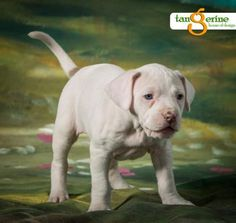 Meet Pearl, a Petfinder adoptable American Staffordshire Terrier Dog   Minneapolis, MN   Meet Pearl. Pearl, the only female of the Outlaw litter. She is one adorable pup, with personality...