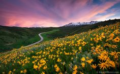 """""""The Perfect Moment"""" by Rory Wallwork - Beautiful wildflowers, a winding road, snow-capped mountains, and a sunset. Great Places, Places To See, Beautiful Places, Beautiful Scenery, Simply Beautiful, Ogden Utah, Beautiful Landscapes, Science Nature, The Great Outdoors"""