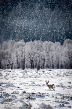 This image was taken during an early morning photo shoot near Jackson Hole Wyoming.  The intent was to capture the beautiful mule deer buck in the context of its home and natural setting near the Gros Ventre River.  The three layers in the image including the grassy river basin buried in fallen snow, the aspens covered in hoarfrost and the spruce trees sprinkled with ice made for a compelling composition.