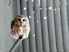 After being informed that what I thought was an owl was a hamster. (terrible day, I know) I decided to find a real owl. Cute Baby Owl, Baby Owls, Funny Animal Videos, Funny Animal Pictures, Owl Pictures, Owl Bird, Pet Birds, Beautiful Owl, Mundo Animal