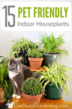 Indoor Gardening 15 Pet Friendly Indoor House Plants - Plants and pets don't always get along, but some indoor plants can be downright dangerous. Avoid the risk by growing these pet friendly house plants. Cat Safe Plants, Cat Plants, Inside Plants, Garden Plants, Herb Garden, Vegetable Garden, Houseplants Safe For Cats, Toxic Plants For Cats, Garden Tips