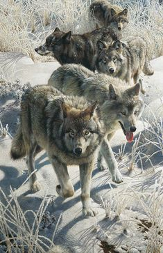 Genuine art prints, signed and numbered. Lowest price for Carl-Brenders Wildlife and Landscape Artist at Art Master Wolf Photos, Wolf Pictures, Free Pictures, Beautiful Creatures, Animals Beautiful, Cute Animals, Wolf Hybrid, Wolf Artwork, Wolf Spirit Animal