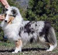 The Shetland Sheepdog originated in the and its ancestors were from Scotland, which worked as herding dogs. These early dogs were fairly Sheepdog Tattoo, Dog Dna Test, Shetland Sheepdog Puppies, Puppy Grooming, Dog Information, Herding Dogs, Rough Collie, Baby Puppies, King Charles Spaniel