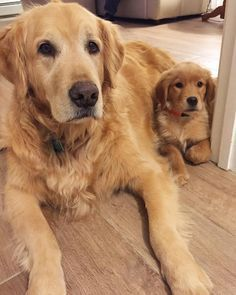 Golden retriever and puppy