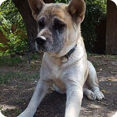 10/16/16 Dallas, TX - Akita/Shar Pei Mix. Meet Britney, a dog for adoption. http://www.adoptapet.com/pet/16180145-dallas-texas-akita-mix