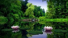 Image result for lotus flowers in pond