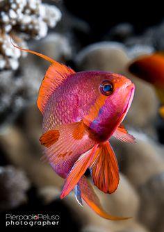 Dancing in the light / Anthyas in Sharm el Sheikh - Egypt Underwater Animals, Underwater Creatures, Underwater Life, Ocean Creatures, Pretty Fish, Beautiful Fish, Beautiful Sea Creatures, Animals Beautiful, Colorful Fish