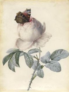 Roses by Pierre-Joseph Redouté (1759-1840)