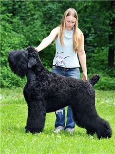 black russian terrier - Google Search