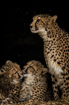 Cheetah mom & cubs