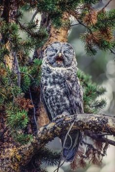 Photographic Print: Great Grey Owl, Strix Nebulosa, Perching on the Branch of a Tree Yawning by Tom Murphy : 24x16in