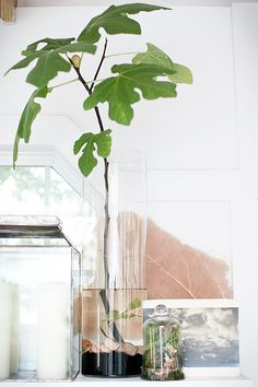 Fig tree indoor centerpiece and decor - ficus carica Ficus, Indoor Garden, Indoor Plants, Ikebana, Plantas Indoor, Decoration Plante, Interior Plants, Green Life, Green Plants