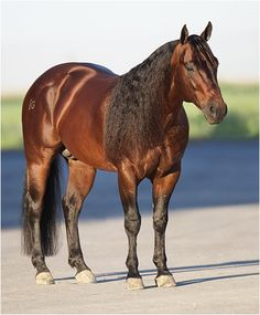Gardiner Quarter Horses - Hes Wright On. I have a Shining Spark mare leased from  Bill & Janiejill Tointon bred to Hes Wright On.