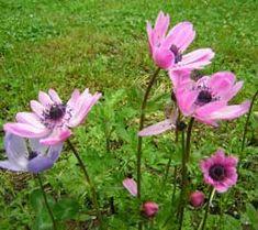 Anémona de jardín, Anémonas, Coronaria, Anémona de los jardines