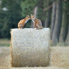Red Foxes by Eike Mross