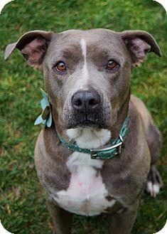Dublin, CA - Pit Bull Terrier Mix. Meet Sunday, a dog for adoption. http://www.adoptapet.com/pet/12638472-dublin-california-pit-bull-terrier-mix