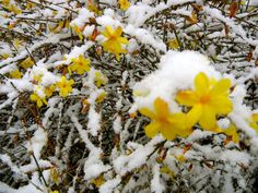 Winter Jasmine (Jasminum Nudiflorum) - yellow flowers covered in snow - zone 6-9 - climbing plant - sun to part shade - blooms in late winter (before forsythia) - not fragrant