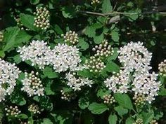full sun deciduous bushes - - Yahoo Image Search Results