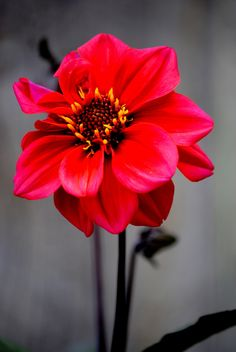Red Dahlia by Nate A, via 500px
