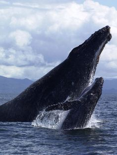 """hellyeahwhales: """"Humpback Whale with calf """""""