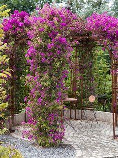 picture of boganvillea on pergola | beautiful bougainvillea - pergola | Outdoor