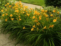 Daylillies - Now, each fresh blossom is showcased only by buds-in-waiting and fresh green growth. Gone are the wilted and faded, sad and sorry spent flowers. Flowers Perennials, Planting Flowers, Flowers Garden, Outdoor Plants, Outdoor Gardens, Day Lilies Care, Daylily Garden, Garden Care, Front Yard Landscaping