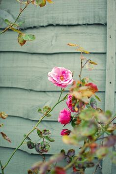 Pink rose - Plants and foliage outdoors. Trees, plants, glowers and gardening.