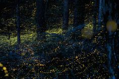 fireflies in timelapse, photos by (click pic) vincent brady, takehito miyatake, tsuneaki hiramatsu and spencer black