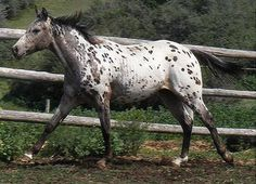 Breed: Pony of the Americas Country of Origin: USA Average Height: 11.2hh - 13.2hh Usual colour: Appaloosa spots. Uses: Riding.