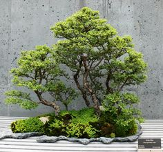 bonsai pictures | File:NCArboretum Bonsai-27527-2.jpg - Wikimedia Commons