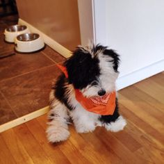 Bear the sheepadoodle. All dressed up for Halloween.  Follow Bear on Instagram @sheepadoodlebear