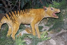 Thylacine exhibit at Naracoorte Caves, South Australia