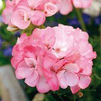 'Inspire Pink' (F1- Pelargonium x hortorum)