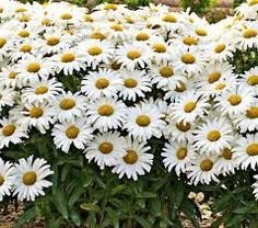 (1 Gallon) Leucanthemum Superbum Amazing Daisies Daisy May® Daisy Duke Pp21914 Shasta Daisy Proven Winners - 1 Gallon